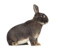 Zijaanzicht van het konijn van Perle fée Royalty-vrije Stock Afbeeldingen