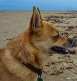 Zijaanzicht van kleine hond Royalty-vrije Stock Afbeeldingen