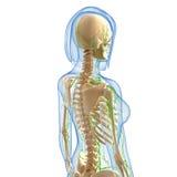 Zijaanzicht van Lymfatisch systeem stock illustratie