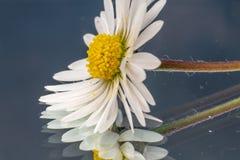 Zijaanzicht van madeliefjebloem en gele bloemenschijf vector illustratie