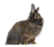 Zijaanzicht van Mini Lop Rabbit Stock Foto