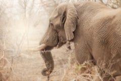 Zijaanzicht van olifant in Zuid-Afrika, kruger nationaal park Royalty-vrije Stock Afbeelding