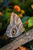 Zijaanzicht van Owl Butterfly royalty-vrije stock foto