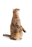 Zijaanzicht van Schotse tabby-kat op wit royalty-vrije stock afbeeldingen