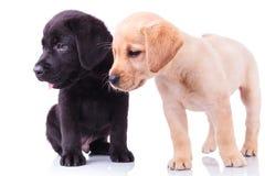Zijaanzicht van twee leuke labrador retriever-puppy die weg eruit zien stock afbeelding