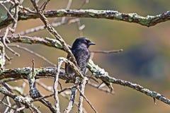 Zijaanzicht van vork-De steel verwijderde van Drongo-vogel stock foto's