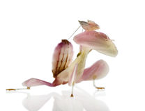 Zijaanzicht van Vrouwelijke hymenopuscoronatus Stock Foto's