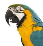 Zijaanzichtclose-up van een blauw-en-Gele Ara, ararauna van Aronskelken, 30 jaar oud Stock Foto