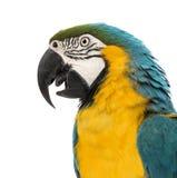 Zijaanzichtclose-up van een blauw-en-Gele Ara, ararauna van Aronskelken, 30 jaar oud Stock Foto's