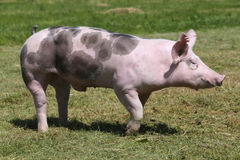 Zijaanzichtclose-up van een duroc rassenvarken op dierlijk landbouwbedrijf royalty-vrije stock fotografie