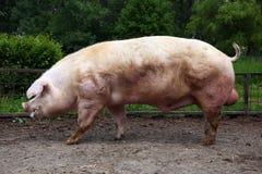 Zijaanzichtfoto van een machtig bokvarken royalty-vrije stock foto's