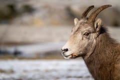 Zijaanzichtportret dat van een vrouwelijk ooi bighorn schaap dat gras eet, camera bekijkt Beschikbare Copyspace Gericht recht royalty-vrije stock foto