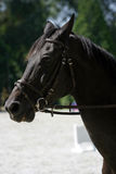 Zijaanzichtportret van een mooi show het springen paard tijdens het werk Royalty-vrije Stock Foto