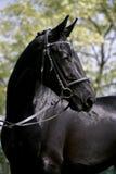 Zijaanzichtportret van een mooie zwarte gekleurde merrie Royalty-vrije Stock Afbeelding