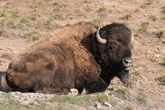 Zijblik door een buffel Stock Afbeeldingen