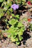 Zijdebloem of Ageratum-houstonianum enige installatie met zacht harige stam en verward doorgenaaid blauw aan violette bloem stock afbeelding