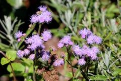 Zijdebloem of Ageratum-houstonianum jaarlijkse installatie met zacht harige stammen en verward doorgenaaid blauw aan violette blo royalty-vrije stock foto