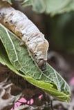 Zijderups die in het moerbeiboom groene blad lopen Royalty-vrije Stock Afbeeldingen