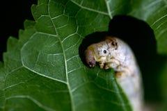 Zijderups die moerbeiboom groen blad eet Royalty-vrije Stock Foto's