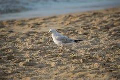 Zijhoek van zeemeeuw die op het strand lopen stock afbeelding