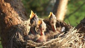 Zijn de onlangs uitgebroede kuikens in een nest hongerig en vragend om voedsel met geopende bekken stock footage