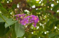 Zijn de purpere bloemen van Pers van Lagerstroemiaspeciosa bloeiend op de boom stock fotografie
