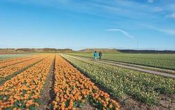 Zijpe di fioritura è una passeggiata organizzata attraverso il campo di fioritura Fotografia Stock
