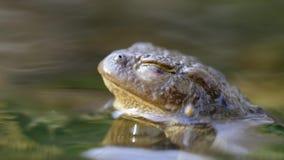 Zijportret van een kikker in een water stock videobeelden