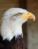 Zijportret van Kaal Eagle met vastgehaakte Bek en bevederd detail stock fotografie
