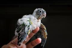 Zijprofiel van een babyconure met neerhangende vleugels Royalty-vrije Stock Afbeelding