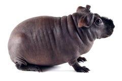 Zijprofiel van een mager varken stock afbeelding
