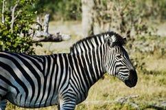 Zijprofiel van een Zebra Stock Foto
