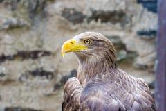 Zijprofiel van Wit de steel verwijderd van Eagle royalty-vrije stock afbeelding