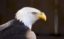 Zijprofielportret van een Kale Eagle-roofvogel, nationale bir stock foto