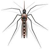 Zika mosquito Stock Images