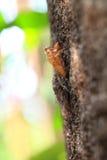 Zikade auf Baumabschluß oben. Stockfotografie