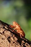 Zikade auf Baumabschluß oben. Lizenzfreie Stockfotos