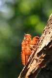 Zikade auf Baumabschluß oben. Stockbilder