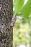 Zikade auf Baumabschluß oben Lizenzfreies Stockbild