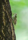 Zikade auf Baumstamm Stockfoto