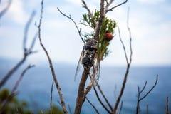 Zikade auf der adriatischen Küste Stockfoto