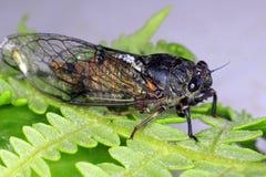Zikade auf einem Farn-Blatt Lizenzfreie Stockfotos