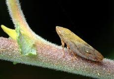 Zikade auf einem Zweig. Stockfotografie
