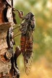 Zikade auf einer Kiefer Stockfotos