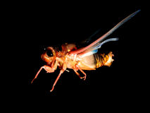 Zikade auf schwarzem Hintergrund Stockfoto
