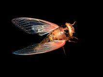 Zikade auf schwarzem Hintergrund Lizenzfreie Stockfotos