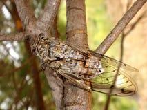 Zikade auf Zweig Lizenzfreie Stockfotos