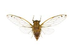 Zikade, Cicadidae Stockfotos