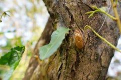 Zikade, die auf dem Baum im Wald mausert Lizenzfreie Stockfotografie