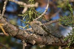 Zikade, die auf einem Baumast sitzt Stockfotografie